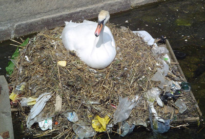 A swan sits in its nest made of hazardous plastic bags